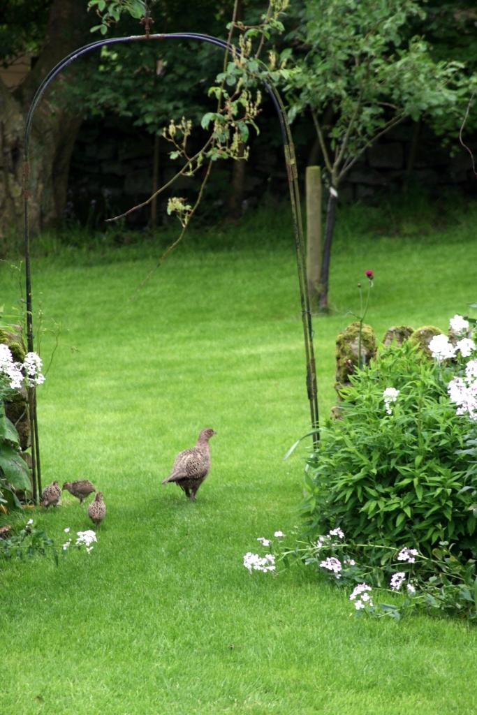 Pheasant chicks