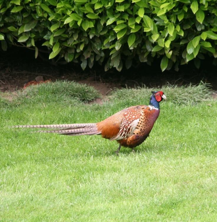 Unpleasant Pheasant