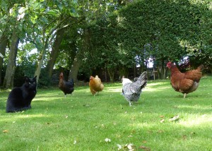 I tried taking these pictures of Darth with the hens in the summer - only to be photobombed by the purfectly named hen, Jack Sparrow!
